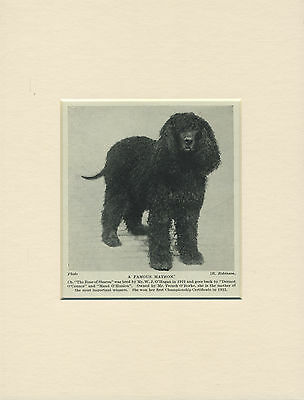 IRISH WATER SPANIEL OLD 1930'S NAMED CHAMPION DOG PRINT MOUNTED READY TO FRAME
