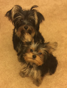 Purebred Female Yorkies