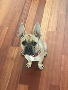 French bulldog / Pug Claremont Nedlands Area Preview