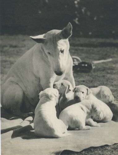 PROUD BULL TERRIER MOM WITH PUPS  Vintage 60 year-old Full Page Photo Print