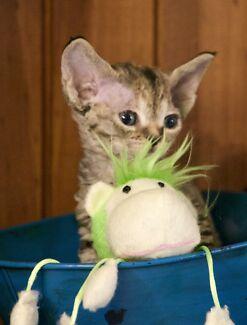 Devon Rex kittens Helidon Spa Lockyer Valley Preview