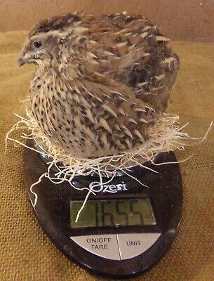 12 Organically Raised Fertile Hatching Jumbo Brown Coturnix Quail Eggs