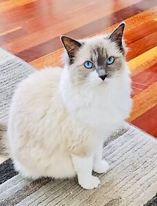 Female Pure Bred Rag Doll Cat 5 years old