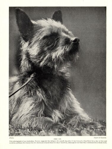 """1930s Antique Australian Terrier Dog Print Vintage Dog """"Fed Up""""  3769j"""