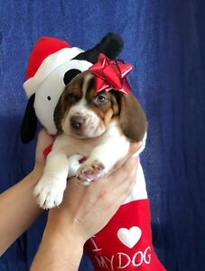 Beautiful Purebred Chocolate Beagle Puppies