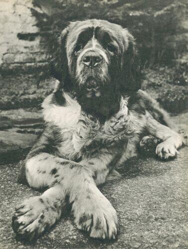 SAINT BERNARD DOG CROSSES HIS PAWS  Vintage 60 year-old Full Page Photo Print