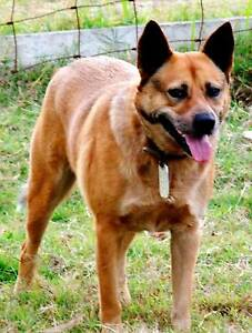 GAURD DOG.  CATTLE DOG OR MIXED BREED WANTED Maryborough Fraser Coast Preview