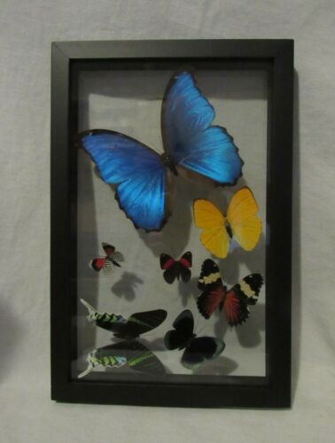 Framed Peruvian butterfly display - 7 species with Morpho Didius in black frame!