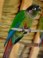 Green cheek conure Redland Bay Redland Area Preview