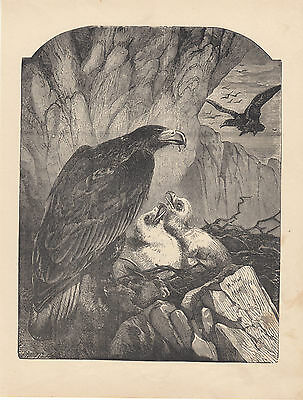 GOLDEN EAGLE BIRD WITH EAGLETS IN NEST ANTIQUE ENGRAVING ART PRINT 1884