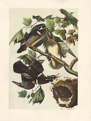 VINTAGE JOHN JAMES AUDUBON BIRD PRINT ~ WOOD DUCK AIX SPONSA MALE & FEMALE - Audubon Wood Duck