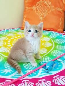 Adorable Munchkin x Rescue Kitten (All vetwork inc.)