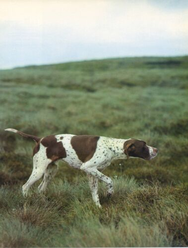 POINTER DOG IN ACTION Vintage 50 year-old Full Page Photo Print