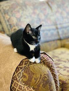 Tiny tuxedo kitten male (with health passport)