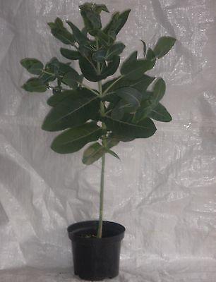 Eucalyptus Nitens, Eucalyptus Shining Gum,Evergreen, 150  - 175 cm. inc. Pot
