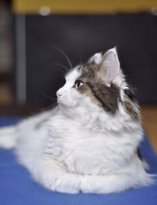CUDDLY female cat - White and tabby brown