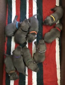 Blue English Staffy Puppies