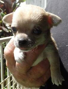 Chihuahua Smoothcoat Male Puppies (2) - Pedigree - Reg Breeder Cannington Canning Area Preview