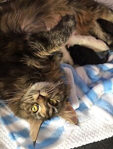 Gorgeous Maine Coon kittens!!