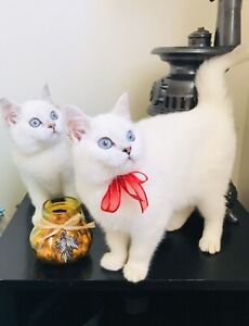 British shorthair Sisters Princesses Elsa and Anna!