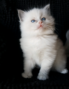 Pedigree ragdoll kittens available Katoomba Blue Mountains Preview