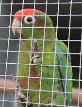 Rose Crowned Conure male Tamborine Ipswich South Preview