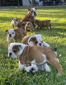 ANKC Registered British BulldogPuppies (Males only)