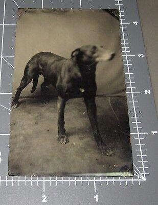 RARE 1870's English Pointer DOG Breed Hunting Bird Sporting Hunter Tintype PHOTO
