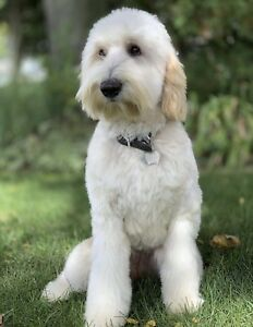 Guardian Home Needed for Female Goldendoodle.