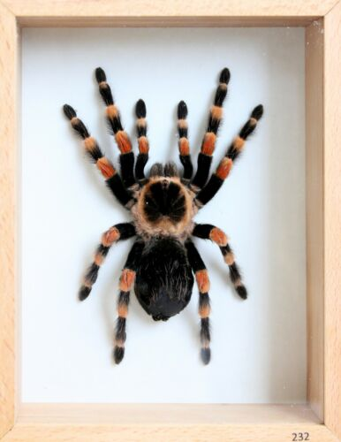 Unique Real Tarantula (Mexican Giant Orange Knee) Taxidermy - Mounted,Framed