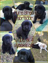 Pure Bred Labrador puppies for sale soon Narellan Camden Area Preview