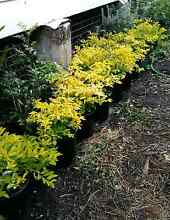 Golden duranta 200mm pots Shortland Newcastle Area Preview