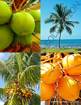 Yellow   Green Coconut Pack   Cocos Nucifera Exotic Palm Tree Seed 2 Live Seeds