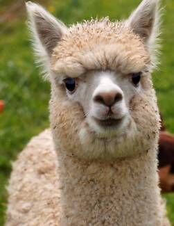 Alpaca starter herds, herd guards, mums and bubs, stud males