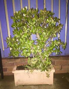 Jade (succulent plant) Over 15 years Robertson Brisbane South West Preview