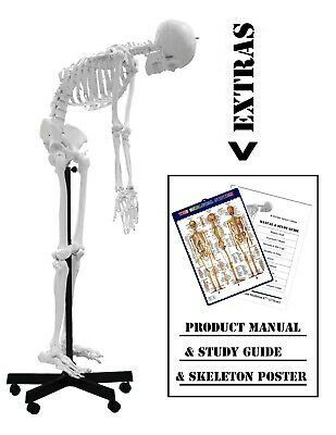 Walter Products B10229 Medical Life Size Plastic Flexible Skeleton Model