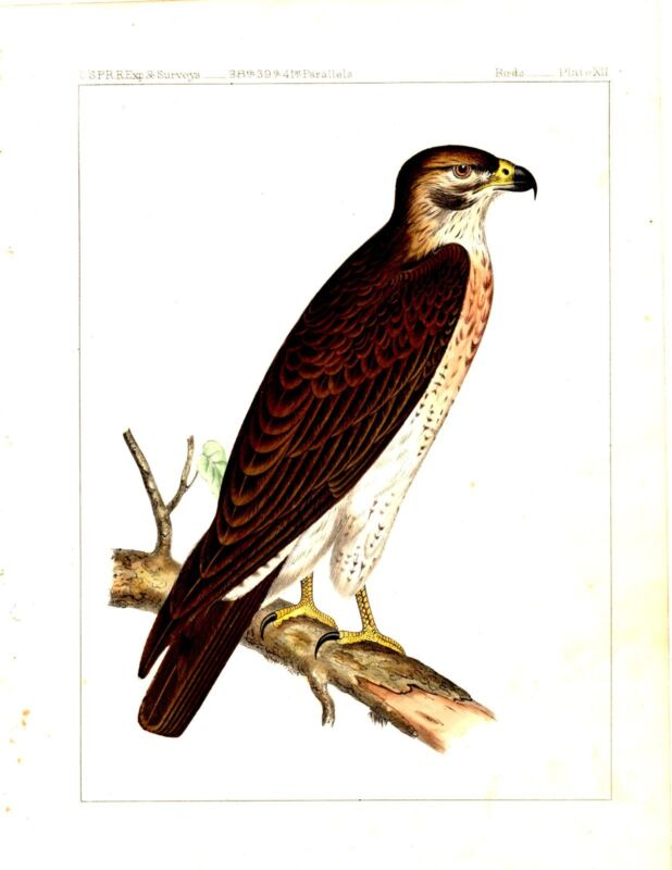 1859 Lithograph BIRDS OF PRAY- HAWK perched on a branch