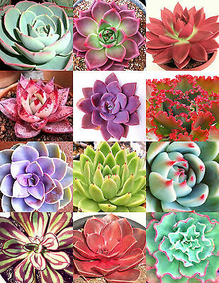 COLOR ECHEVERIA mix, rare exotic succulent HEN & CHICKS flowering seed 50 seeds