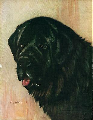 Dog Print 1934 Newfoundland Dog by F T Daws VINTAGE