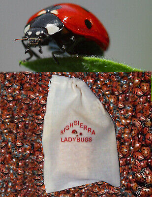 300 Premium Fresh Live Ladybugs  Think Fresh!!  In Stock Now . Fast Shipping