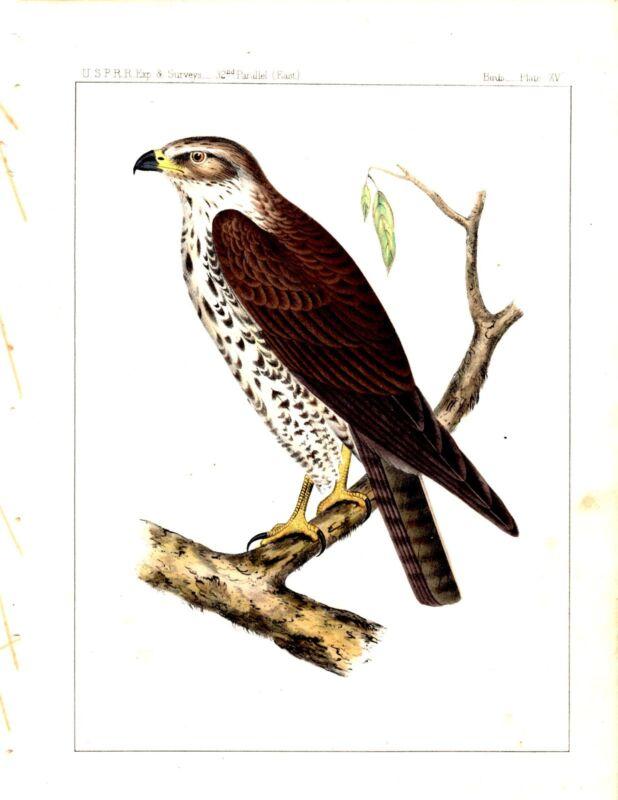 1859 Lithograph  BIRDS OF PREY - Hawk