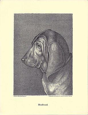 1890 Jean Bungartz Dog Art Head Study Print Reproduction BLOODHOUND