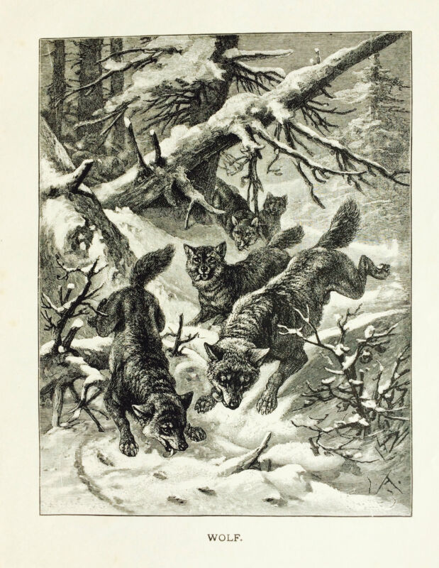 J.G.WOOD,Cut 1885 Scarce BW Print WOLVES/Wolf/Coyote WILD DOGS L@@K!