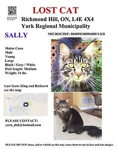 Lost Maine Coon Cat (King and Bathurst)