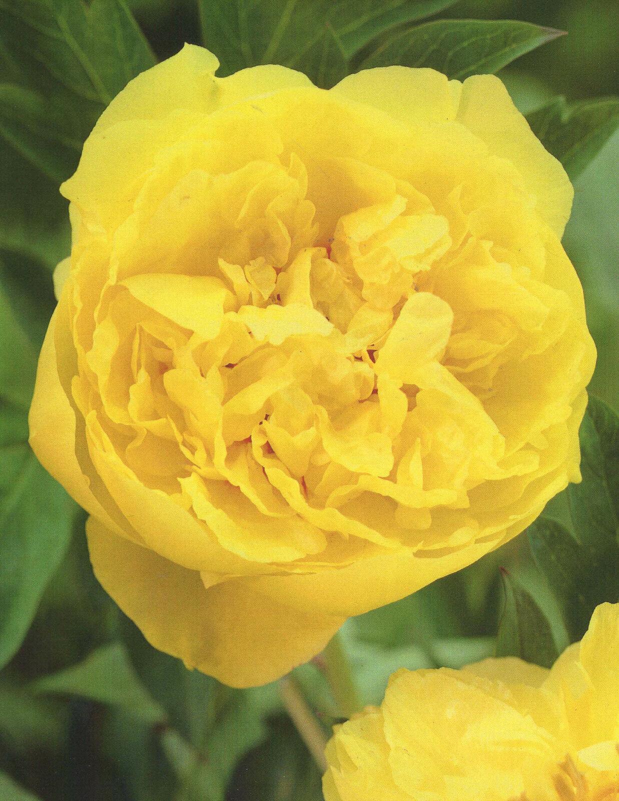 Pfingstrose Top Brass Paeonia Lactiflora1 Wurzelst/ück mit Augen Rarit/ät