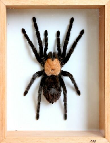 Unique Real Tarantula (Mexican Golden Red Rump) Taxidermy - Mounted,Framed