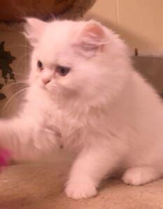 Persian kittens for sale kelowna