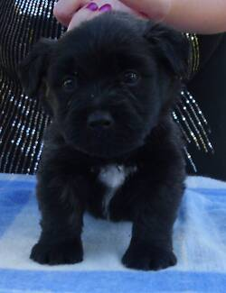 RARE Skye Terrier Puppies 4 Sale Registered Breeder Dogs NSW Koorawatha Cowra Area Preview