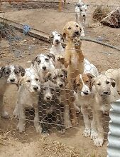 Six cute Puppies : Stag hound X Shorthair Pointer Creswick Hepburn Area Preview