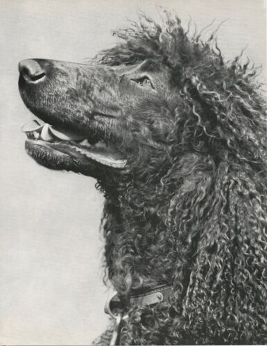BEAUTIFUL FACE OF IRISH WATER SPANIEL Vintage 50 year-old Full Page Photo Print